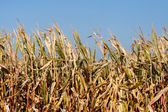 Corn field in the sun — Stock Photo