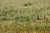 кукурузное поле на солнце — Стоковое фото