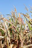 Corn field in the sun — Stock Photo