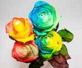 Rose in many colors — Stock Photo