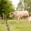 Stock Photo: Cows grazing in a field