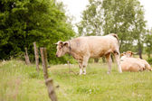 Cows grazing in a field — Stock Photo