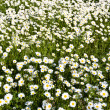 Stock Photo: Daisies in a clearing
