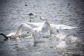 Two Swans departing from the lake — Stock Photo