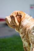 Shar pei dog breed in the garden — Stock Photo