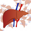 Human liver background - Stock Vector