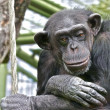 Stock Photo: Sad Chimpanzee thinking about his life