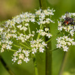 Fly on Yarrow — Stock Photo