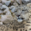 Snow Leopard 1 — Stock Photo