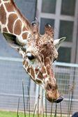 Almoço girafa 1 — Foto Stock