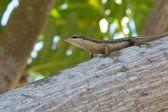 Seychelles Skink 4 — Stock Photo