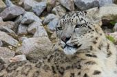 Snow Leopard 1 — Stock Photo