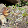 Stock Photo: Chipmunk with food