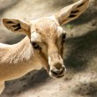 Stock Photo: Goitered Gazelle 2