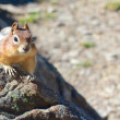 Wary chipmunk — Stock Photo
