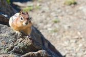 Wary chipmunk — Foto de Stock