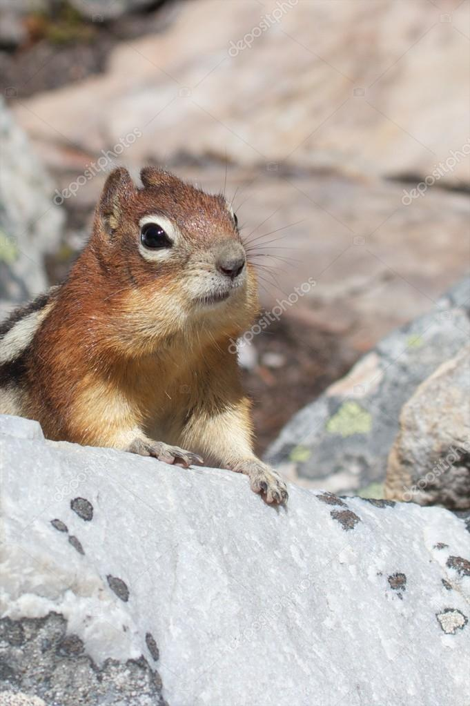 Cute chipmunk curiously looking out for food — Stock Photo #17684623