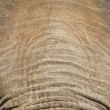 Elephant Forehead — Stock Photo