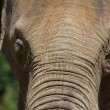 Elephant Forehead Portrait — Stock Photo