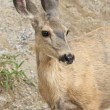 Roe Deer closeup — Stock Photo