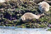 Lazy Seals and Starfish — Stock Photo