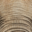 Elephant Forehead and Trunk — Stock Photo