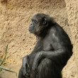 Chimpanzee in Loro Parque — Stockfoto
