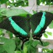 Emerald Swallowtail — Stock Photo #18307069