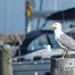 Seagull on a pole — Stock Photo