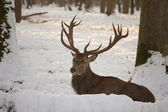 Deer in the Snow 1 — Stock Photo