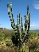 Le Cactus — Stock Photo