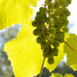 Stock Photo: Grapevine against sunlight