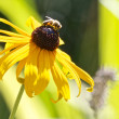 Busy Bee on a flower — Stock Photo