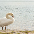 Beautiful young swan 1 — Stock Photo