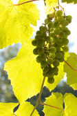 Grapevine against the sunlight — Stock Photo