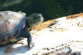 Turtle promenad närbild — Stockfoto