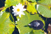 Snapper and water lily 2 — Stock Photo