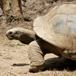 Tortoise 1 — Stock Photo
