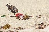 Sanderling 2 — Stock Photo