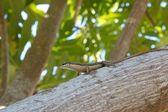 Seychelles Skink 1 — Stock Photo