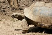 Tortoise 1 — Stock Photo