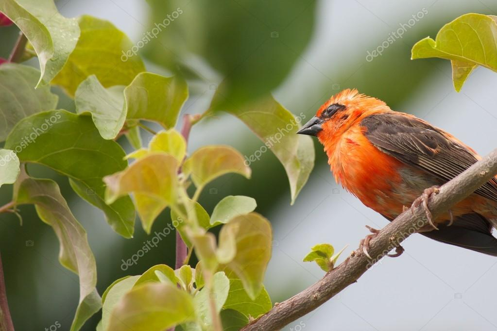 Closeup shot of a Seychelles Red Fody sitting on a twig  Stockfoto #18860963