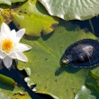 Turtle and a water lily — Stock Photo #18952725