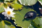 Turtle and a water lily — Stock Photo