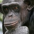 Stock Photo: Chimpanzee Philosopher