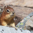 Stock Photo: Cute Chipmunk closeup