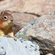 Cute Chipmunk 1 — Stock Photo