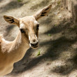 Stock Photo: Goitered Gazelle 3
