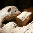 Stock Photo: Indigray mongoose 1