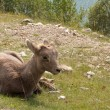 Juvenile big horn sheep — 图库照片